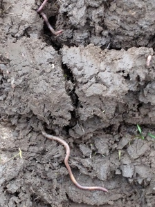 There's plenty of earthworm action out there!