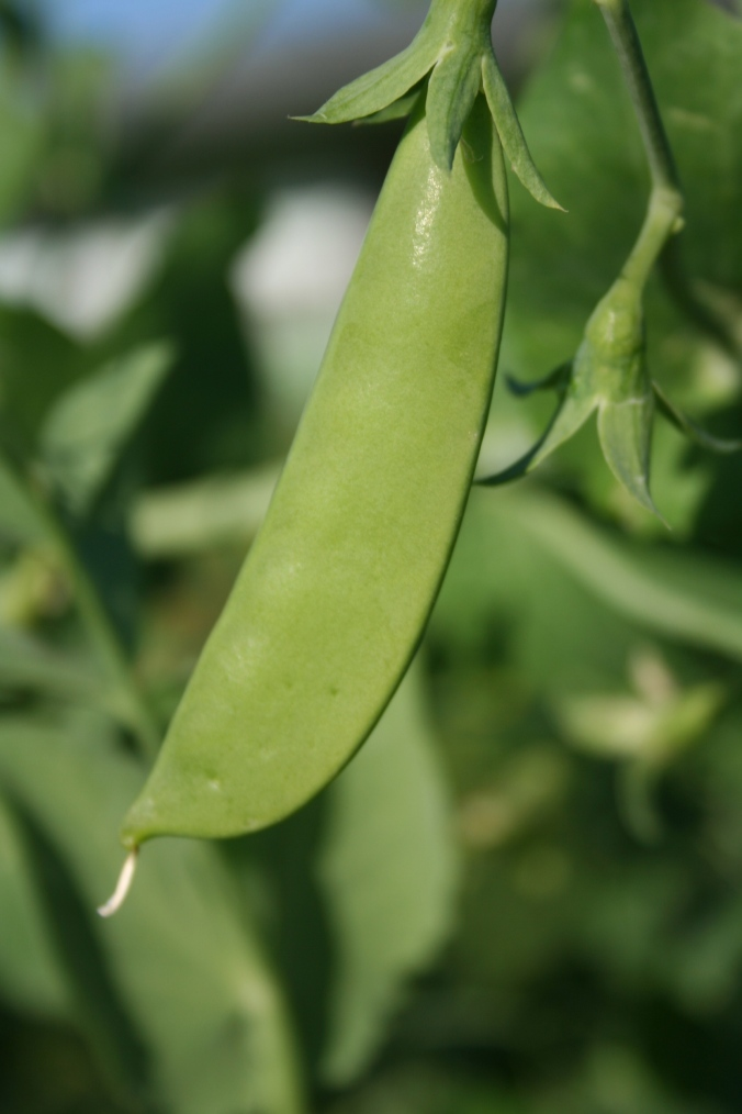 A great year for snap peas!