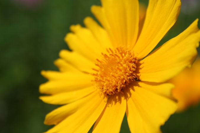 Large-flower coreopsis