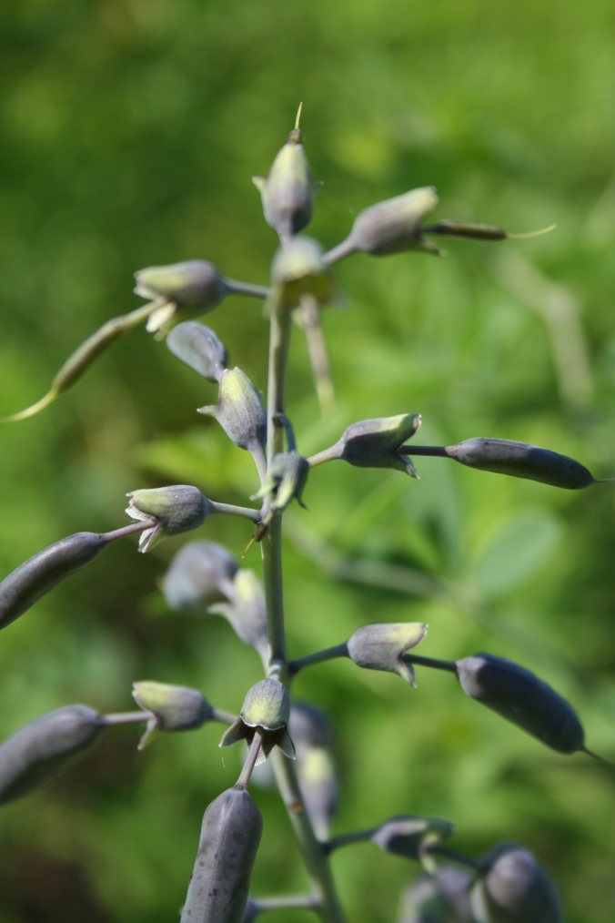 "Wild indigo, or ""false"" indigo"