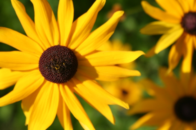Rudbeckia (brown-eyed Susan)